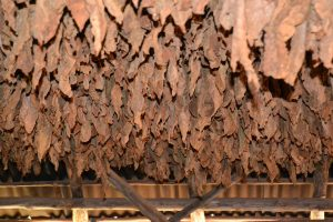 Tobacco drying 300x200 - Homemade Tobacco: A Product You Can be Proud to Smoke