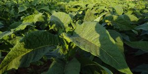 tobacco plant 300x151 - Homemade Tobacco: A Product You Can be Proud to Smoke