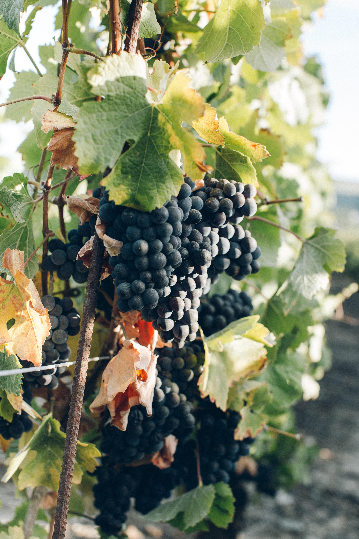 The Gentleman's Cellar Rediscovering Beaujolais