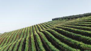 Grape farm 300x169 - The Gentleman's Cellar: The Natural Wine Movement