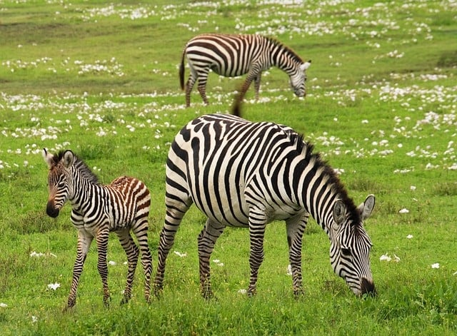 baby zebra 75885 640 - 9 Travel Locations Any Hunter Needs to Put on Their Bucket List