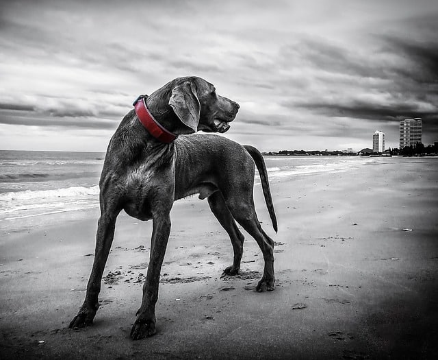 weimaraner 143753 640 - How To Be A Responsible Dog Owner: Advice On Caring For Your Pet