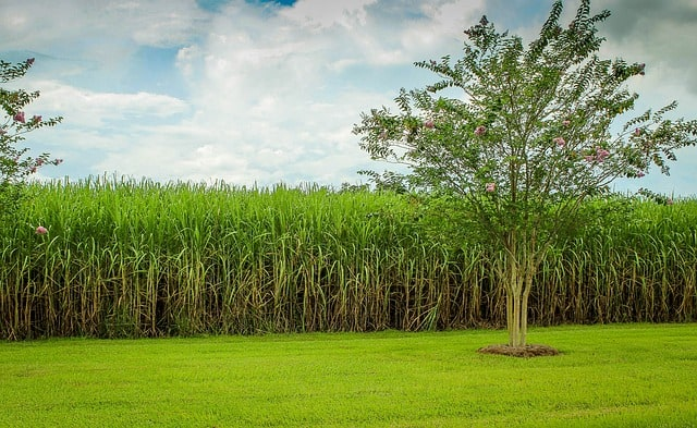 sugarcane 439880 640 - 5 Luxury Experiences in the Caribbean