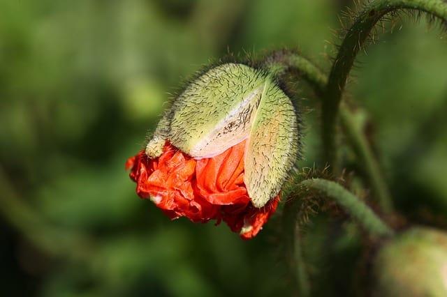 poppy-192126_640