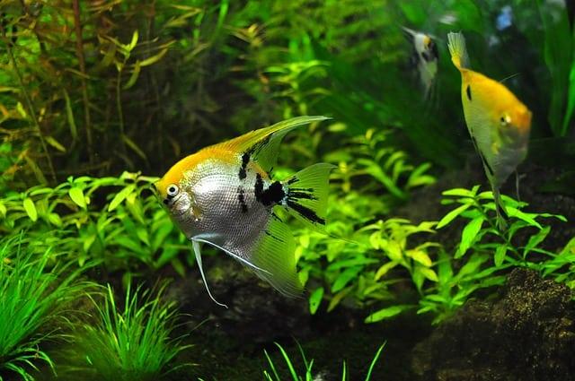 Why Betta Fish Make Great Pets
