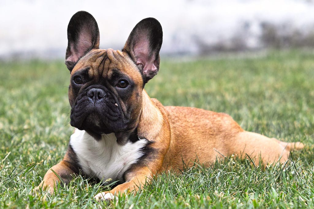 French bulldogs 1024x683 - 5 Dog Breeds Single Guys Love