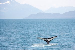 Alaska Cruise Whale Watching 300x200 - Best Cruises for Wildlife Fanatics
