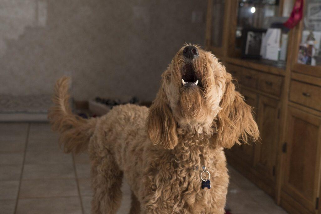 doodle barking 2965983 1280 1024x682 - 9 Reasons Dogs Bark