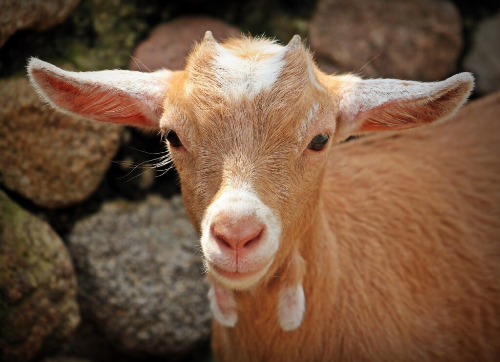 goat 1438254 1280 1024x742 - Three Different Religious Practices that are Sacred.